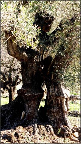 alte Olivenbäume