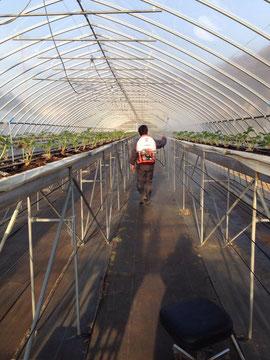 ナイアガラハウスへ植苗後の葉面散布