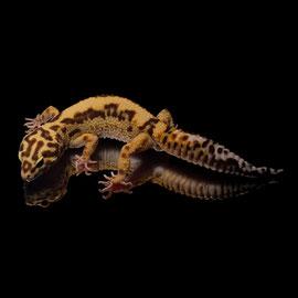Leopardgecko 'Dale' Tangerine Chocolate Striped Tremper Albino