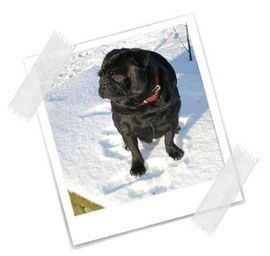 Schneemöpschen... Schwarzröckchen ;-)