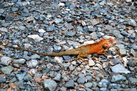 Ein farbenfroher Gecko