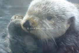 モントレーベイ水族館で最高齢のローザ (photo:らっこちゃんねる | Sea Otter Channel)