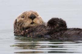 """ラッコは多くの時間を冷たい水の中で過ごす。常にグルーミングを行い、密な体毛に空気の断熱層ができるようにしている。""""MIKE"""" MICHAEL L. BAIRD/WIKIMEDIA COMMONS (CC-BY 2.0)"""