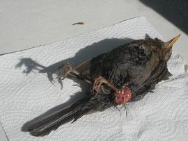 Amselweibchen verletzt und gestorben an den Folgen einer Katze