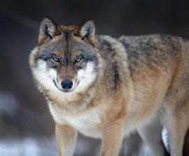Wolf aus dem Bayerischen Wald