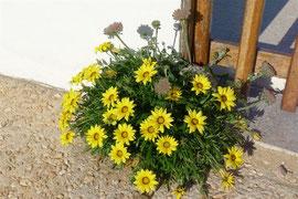 Pflanzen Algarve gelbe Gazanie
