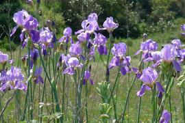 Pflanzen Algarve Iris wilde Schwertlilien spanische Iris