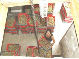 Caisses de macabeu en attente de monte-charge
