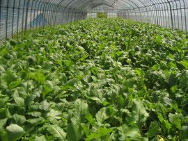 2012春の遠野かぶ畑