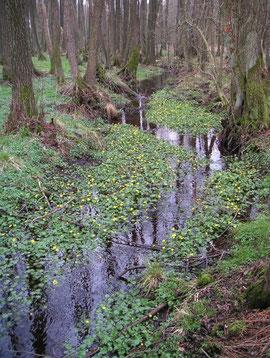 Wertvollster Bruchwald im Sünderwald