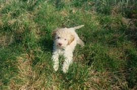 lagotto romagnolo cucciolo Bigo