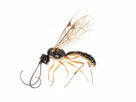 日本から約100年ぶりに報告されたボウズハバチヤドリヒメバチ Acrotomus lucidulus (渡辺,2010a より引用)