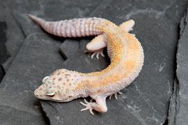 Leopardgecko White & Yellow W&Y