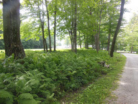 The approach to Hildene is through a fern-lined woodland drive