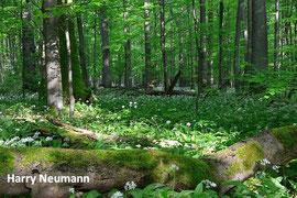 Buchenwald mit Totholz im Nationalpark Hainich, Thüring