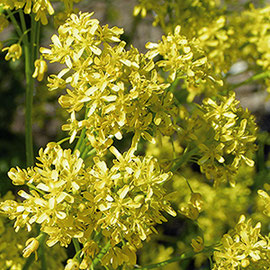 Le pastel ou Isatis tinctoria est une plante de la famille des crucifères qui atteint 1 mètre de haut. Semé à la fin de l'hiver, il fleurit au printemps (fleurs jaunes)