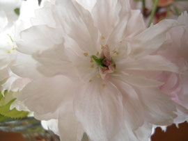 塩釜桜をよく見てください