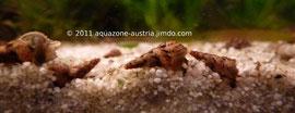 Marmorierte Turmdeckelschnecken