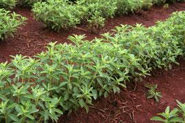 Anbau von Stevia: Beet mit Stevia-Pflanzen