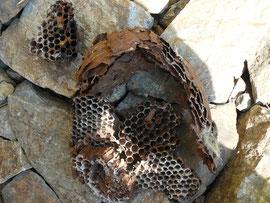 スッカリ食べられた蜂の巣