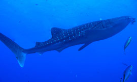 Whale Shark playing with Blue Waves