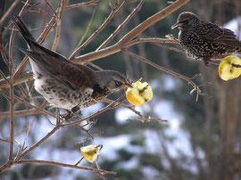 Wacholderdrossel und Star an aufgespießten Äpfeln (FOTO: H. Gille)
