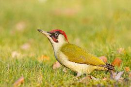 """Gern suchen Grünspechte auf Rasenflächen nach Ameisen. Das Foto zeigt ein erwachsenes Männchen. Die Art wurde nun """"Vogel des Jahres 2014"""" Foto: Ralph Martin/ Nabu"""