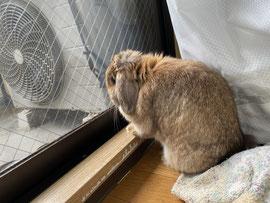 外を眺めるウサギ