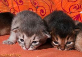 Somali Kitten, Cattery Kalahari-Sun