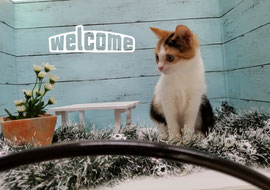 ミックス・mix子猫の激安販売【関東・埼玉 猫の部屋セイワ】ブリーダーから直接お迎えで、安心・安い!