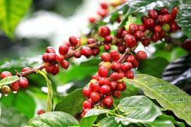コーヒーの木の実