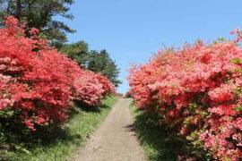 気仙沼市最高峰 徳仙丈山に咲く躑躅(ツツジ)
