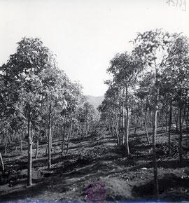 Plantations de quinquina au Hon Ba