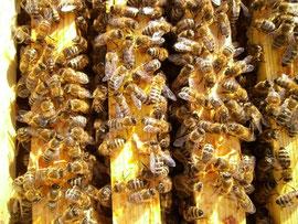 Der natürliche Bienenabstand zwischen den Waben beträgt 35mm und bildet eine Wabengasse mit einer Distanz von etwa zwei Bienenbreiten