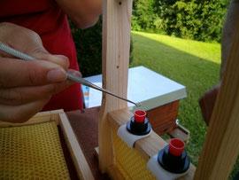 Mit einem Umlarvlöffel werden die ausgewählten Larven in die vorbereiteten Weiselbecher abgelegt