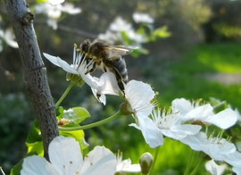 Mit Beginn der Kirschblüte wird die Zeit der ergiebigen Frühjahrstrachten eingeläutet