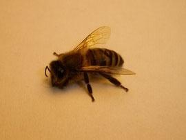 Varroamilben sind trotz ihrer geringen Größe durch ihrer ovalen Form und der rötlichen Farbe gut auf Bienen zu erkennen