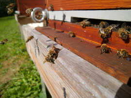 Bereits im Juli kann der Drohnenabtrieb durch die Wächterbienen an den Fluglöchern stattfinden