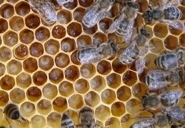 Ammenbienen bei der Brutpflege
