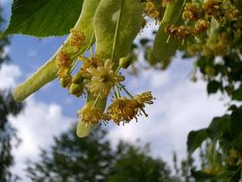 Lindenblüten sind im Hochsommer ein sehr wichtiger Nektarlieferant für die Honigbienen