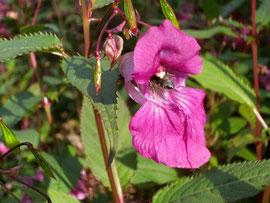 Das Springkraut sorgt aufgrund seiner langen Blühzeit vom Spätsommer bis zum Herbst für einen stetigen Bienenbesuch. Durch den oben liegenden Pollenstempel wird der Rücken der Bienen weiss gefärbt.