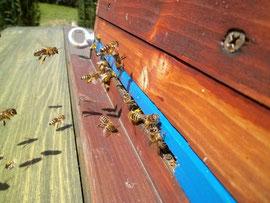 Sterzelnde Bienen vor dem Flugloch sind gut an ihrem steil in die Höhe gerichteten Hinterleib und dem gleichmäßigem Ventilieren ihrer Flügel zu erkennen