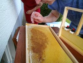 Nur jüngste Bienenlarven werden für die Bestückung des Zuchtrahmens ausgewählt