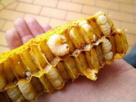 Mehrfachparasitierung führt unweigerlich zum Tod der Bienenlarve