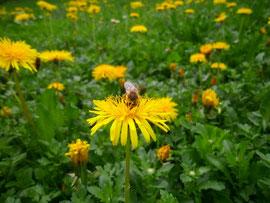 Um 1 kg Honig ernten zu können, müssen Honigbienen bis zu 10 Millionen Blüten besuchen