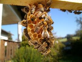 Bienen beim Erstellen einer Wabe in einem Leerrähmchen. Um 1kg Wachs zu erzeugen benötigen Bienen als Energiebedarf bis zu 7kg Honig.