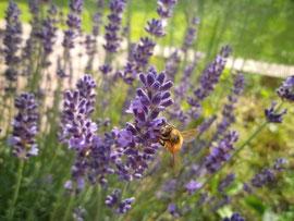 Honigbiene beim Sammeln von Nektar auf Lavendelblüte