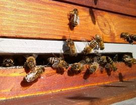 Patrouillerende Wächterbienen am Flugloch