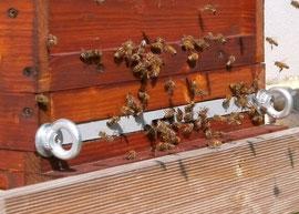 Im Spätsommer sollten die Fluglöcher der Völker eng gehalten werden, damit diese nicht von anderen Bienen ausgeräubert werden