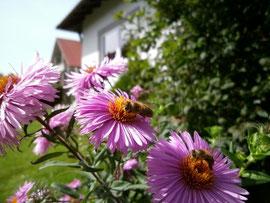 Herbstastern werden aufgrund ihres großen Nektar- und Pollenangebotes gerne von Bienen  beflogen